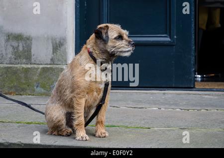 Border Terrier on a leash and sitting outside a shop in St Stephen Street, Stockbridge, Edinburgh, Scotland, UK. - Stock Photo