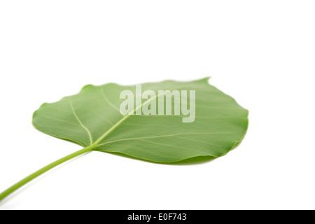 bodhi leaf isolated - Stock Photo