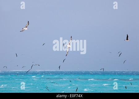 Laysan (Phoebastria immutabilis) and Black-footed (Phoebastria nigripes) Albatrosses soaring over the ocean in Midway - Stock Photo