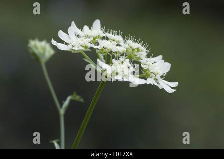 orlaya grandiflora - Stock Photo
