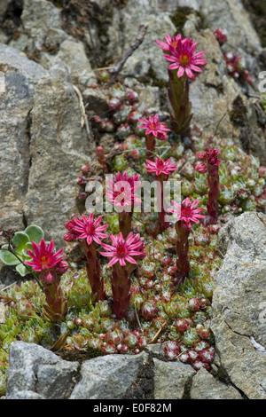 cobweb houseleek, sempervivum arachnoideum - Stock Photo