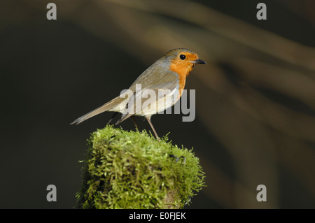 A robin on a mossy fence post UK - Stock Photo