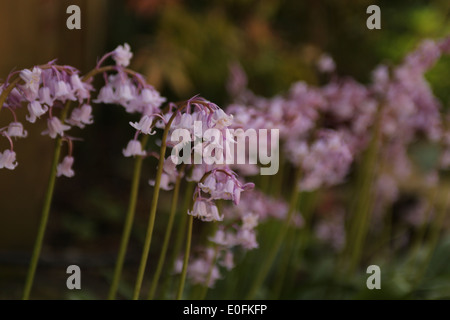 Spanish bluebells in pink - Stock Photo