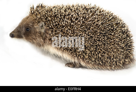 European hedgehog on white background - Stock Photo