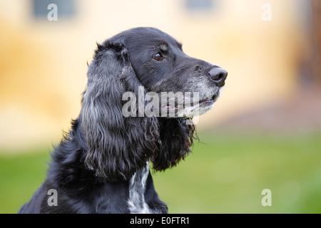 Close-up of purebred American Cocker Spaniel dog. - Stock Photo