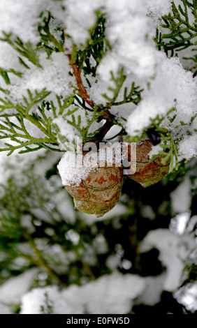 Conifer Nuts in snow - Stock Photo
