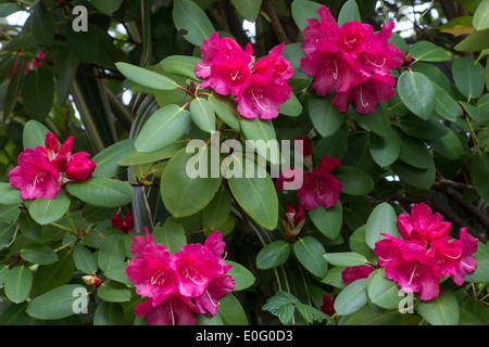 Flowers of the Rhododendron williamsianum hybrid, 'WillBrit' - Stock Photo