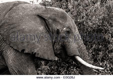 Elephant at Lake Manyara National Park - East Africa - Tanzania - Stock Photo