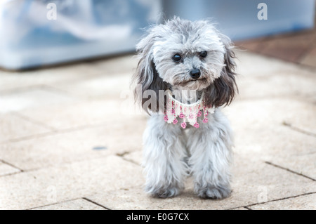 Grey poodle puppy wearing a cute pink necklace - Stock Photo