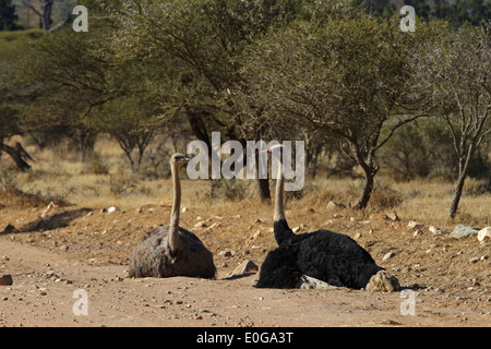 African Ostrich (Struthio camelus australis) male and female lying on a gravel road. Polokwane game reserve, Limpopo, - Stock Photo