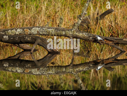 African Pied Wagtail (Motacilla aguimp) with reflection in water, Limpopo Province, South Africa - Stock Photo