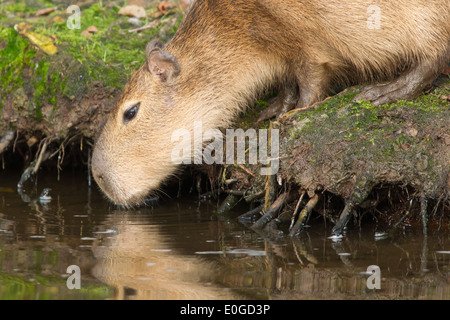 Capybara (Hydrochoerus hydrochaeris) drinking from a dirty pool (Holland) - Stock Photo
