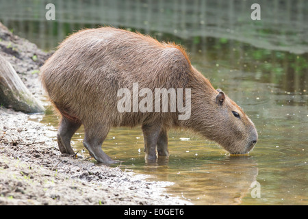 Adult capybara drinking at a filthy pond - Stock Photo