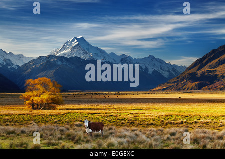 Farmland with grazing cows and Mount Cook on background, Canterbury, New Zealand - Stock Photo