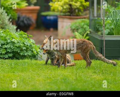 Two Red Foxes, Vulpes vulpes, on garden lawn - Stock Photo
