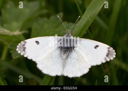 female Orange-tip (Anthocharis cardamines) - Stock Photo