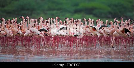 Of Lesser flamingos At brine Bogoria, Kenya, Lesser flamingos at Lake Bogoria - Stock Photo