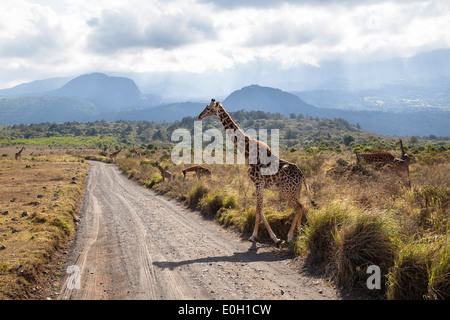 Massai Giraffe crossing the road, Giraffa camelopardalis, Mount Meru, Arusha National Park, Tanzania, East Africa, - Stock Photo