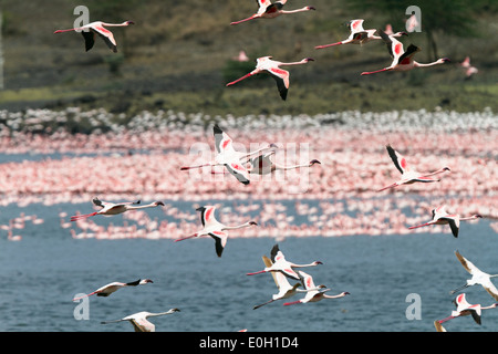 Lesser Flamingoes in flight, Phoeniconaias minor, Arusha National Park, Tanzania, East Africa, Africa - Stock Photo