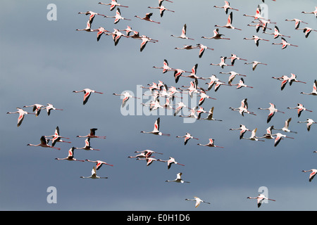 Lesser Flamingoes, flock in flight, Phoeniconaias minor, Arusha National Park, Tanzania, East Africa, Africa - Stock Photo