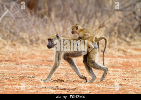 Yellow Baboon with baby, Papio cynocephalus, Lake Tanganjika, Ruaha National Park, Tanzania, East Africa, Africa - Stock Photo