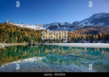 Larch trees in autumn colors and snow-capped mountains reflecting in a mountain lake, Lake Saoseo, Val da Cam, Val - Stock Photo