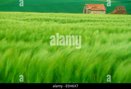 Green wheat field with stone barn, France. - Stock Photo