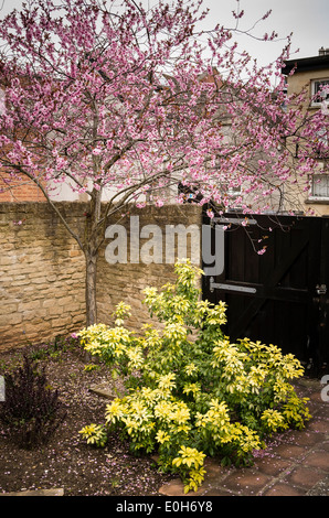 Choisya and spring blossom in a town courtyard garden in UK - Stock Photo