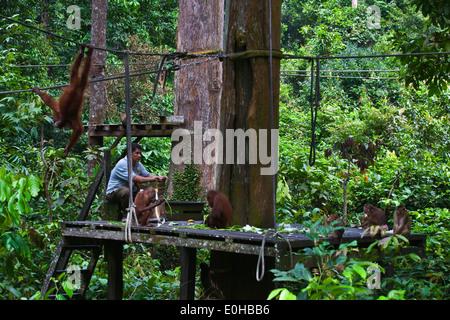 Orangutans are fed at the Sepilok Orangutan Rehabilitation Center in the Kabili Sepilok Forest -  BORNEO - Stock Photo