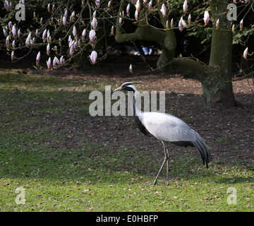 black and white heron full-length standing on green grass lawn and spring flowers background - Stock Photo