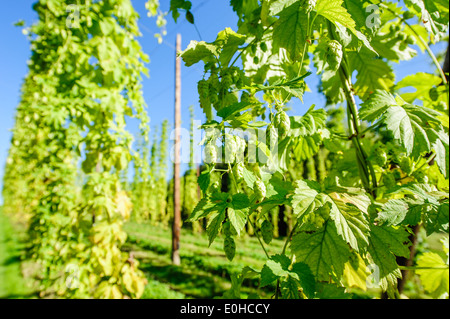 Fully grown hop Cones taken in Upper Austria - Stock Photo