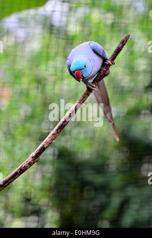 Indian Ring-necked Parakeet - Stock Photo