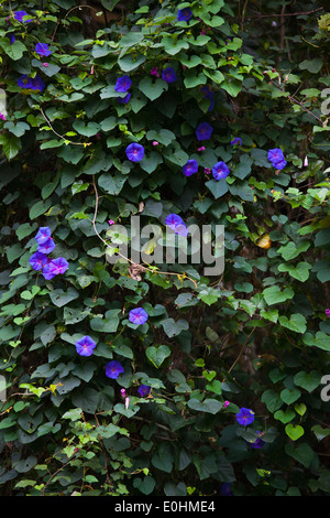 MORNING GLORY in bloom in the BOTANICAL GARDEN IN KINABALU NATIONAL PARK which is a World Heritage Site - SABAH, - Stock Photo
