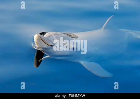 Common Bottlenose Dolphin or Atlantic Bottlenose Dolphin (Tursiops truncatus) - Stock Photo