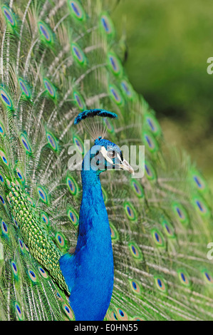 Indian Peafowl or Blue Peafowl (Pavo cristatus), male courtship display - Stock Photo