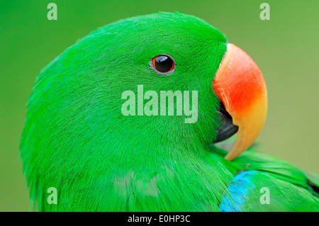 New Guinea Red-sided Eclectus Parrot, Red-sided Eclectus Parrot, New Guinea Eclectus (Eclectus roratus polychloros), - Stock Photo