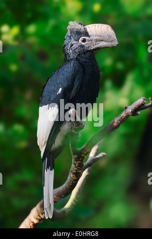 Black-and-white-casqued Hornbill or Grey-cheeked Hornbill (Bycanistes subcylindricus) - Stock Photo