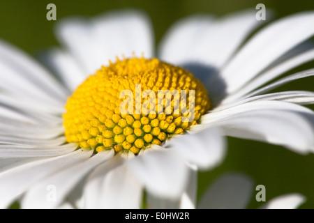 Margerite - White oxeye daisy - Stock Photo