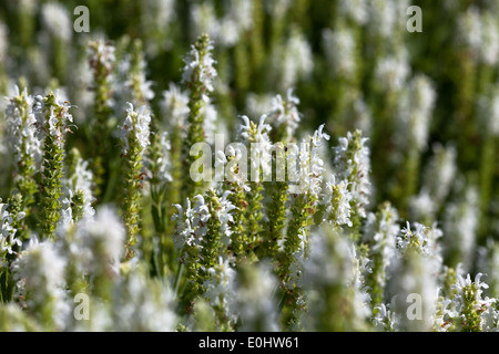 Steppen-Salbei, (Salvia nemorosa), DIE GARTEN TULLN 2009 - Sage, (Salvia nemorosa) - Stock Photo