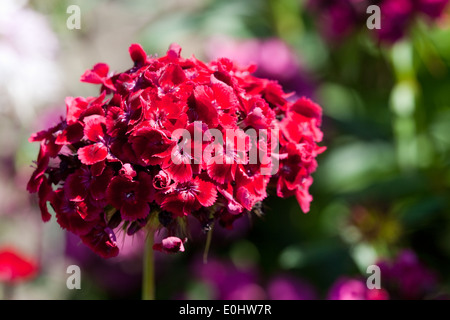 Bartnelke, (Dianthus barbatus), DIE GARTEN TULLN 2009 - Sweet william, (Dianthus barbatus) - Stock Photo