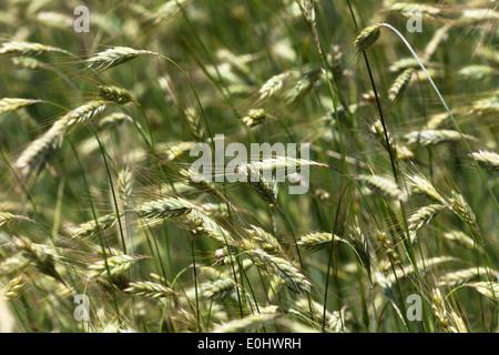 Sommergerste, (Hordeum), DIE GARTEN TULLN 2009 - Barley, (Hordeum) - Stock Photo