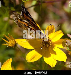 Distelfalter, Topinambur (Helianthus tuberosus), DIE GARTEN TULLN 2009 - Painted Lady, Jerusalem artichoke - Stock Photo