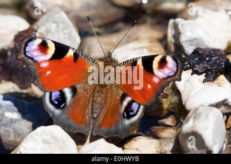 Tagpfauenauge (Inachis io) - European Peacock butterfly (Inachis io) - Stock Photo
