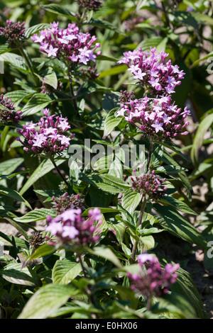 Sternblume, Graffiti Violett, (Pentas lanceolata), DIE GARTEN TULLN 2009 - Pentas lanceolata - Stock Photo
