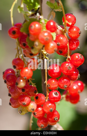 Rote Ribisel - Red currant - Stock Photo