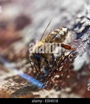 Westliche Honigbiene (Apis mellifera) - Western honey bee (Apis mellifera) - Stock Photo