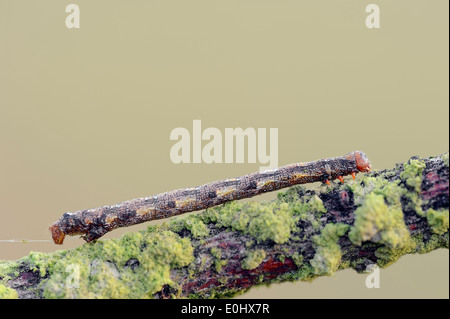 Mottled Umber (Erannis defoliaria), caterpillar, Netherlands - Stock Photo