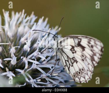 Schachbrett(Melanargia galathea), Blaudistel (Eryngium alpinum) - Marbled White (Melanargia galathea), Alpine Sea - Stock Photo
