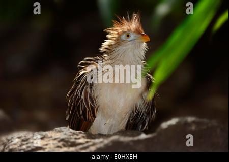 Guira Cuckoo (Guira guira) - Stock Photo
