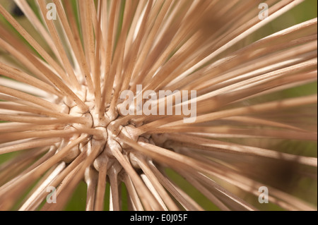 Seed head center of Allium christophii an ornamental bulbous plant huge globes of small star shaped seeds on many stems